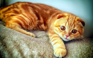 Ginger Cat wallpapers and stock photos