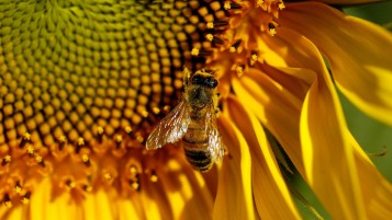 Bee on Sunflower wallpapers and stock photos