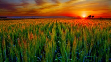 Wheat Field At Sunset wallpapers and stock photos