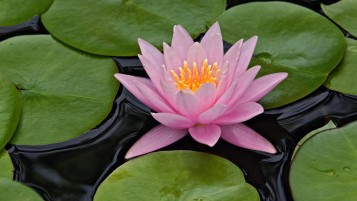 Lotus Flower wallpapers and stock photos