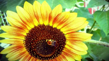 Sunflower in a Garden wallpapers and stock photos