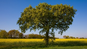 Random: Nice Tree & Yellow Field