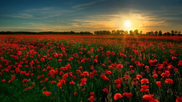 Amazing Poppy Field wallpapers and stock photos