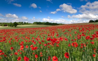 Nice Poppy Field wallpapers and stock photos