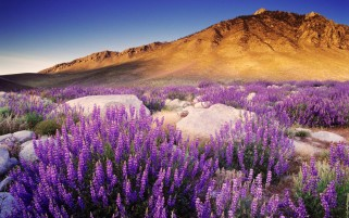 Purple Mountain Flowers wallpapers and stock photos