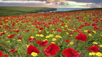Beautiful Poppy Meadow wallpapers and stock photos