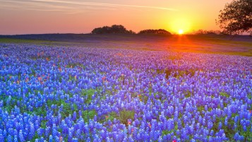 Blue Lupine Field wallpapers and stock photos