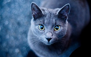 Blue Cat Green Eyes wallpapers and stock photos