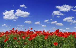 Poppy Flowers wallpapers and stock photos