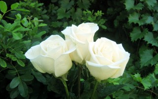 Nice White Roses wallpapers and stock photos