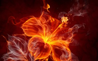 Fire Hibiscus wallpapers and stock photos