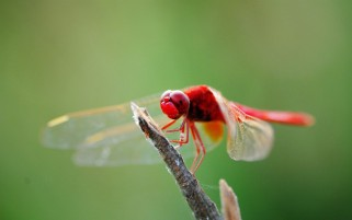 Dragonflies wallpapers and stock photos