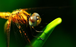 Dragonflies Eyes wallpapers and stock photos