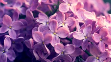 Lilac Flowers wallpapers and stock photos