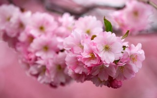 Cherry Flower Macro wallpapers and stock photos