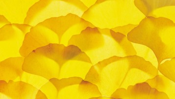 Ginkgo Biloba Leaves wallpapers and stock photos