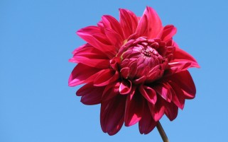 Pink Dahlia wallpapers and stock photos
