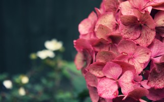 Pink Hydrangea wallpapers and stock photos