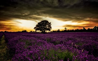Random: Wondrous Purple Field Sunset