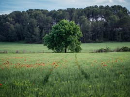 Random: Field Poppies Trees