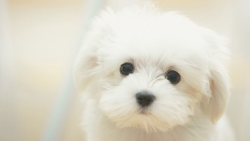 Cute Maltese wallpapers and stock photos