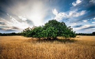 Tree In A Corn Field wallpapers and stock photos