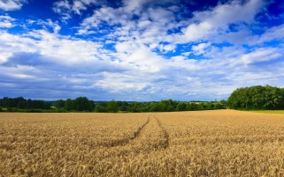 Random: Beautiful Wheat Field & Sky