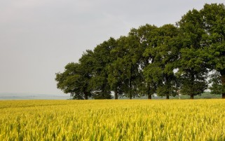 Wheat Field & Farm Trees wallpapers and stock photos