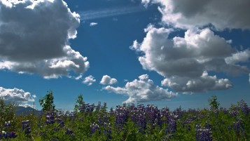 Clouds and Purple Flowers wallpapers and stock photos