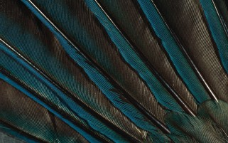 Iridiscent Feathers wallpapers and stock photos