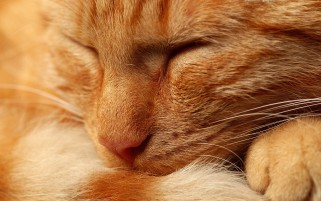 Orange Cat wallpapers and stock photos