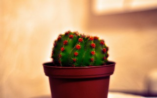 Potted Cactus wallpapers and stock photos