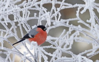 Bullfinch wallpapers and stock photos