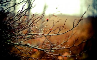 Random: Rain on Rosehip Branches