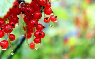 Redcurrant wallpapers and stock photos