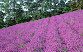 Pink Lavender Field & Trees wallpapers and stock photos