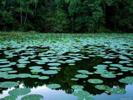Trees Lake Lily & Pads wallpapers and stock photos