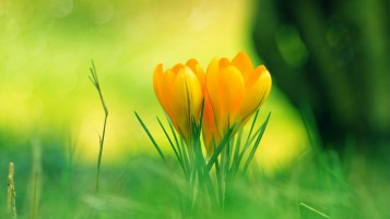 Yellow Crocus wallpapers and stock photos