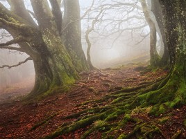 Random: Old Beech Forest Foggy