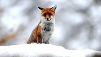 Cute Small Fox wallpapers and stock photos