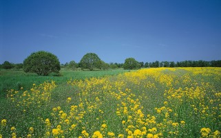 Yellow Summer Field & Trees wallpapers and stock photos