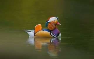 Mandarin Duck wallpapers and stock photos