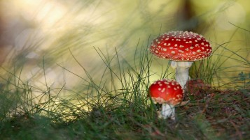 Poison Mushroom wallpapers and stock photos