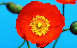 Poppy Flower wallpapers and stock photos
