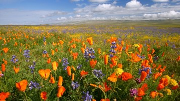 California Meadow Flowers wallpapers and stock photos