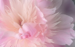 Peony wallpapers and stock photos