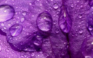 Waterdrops on Flower Petal wallpapers and stock photos