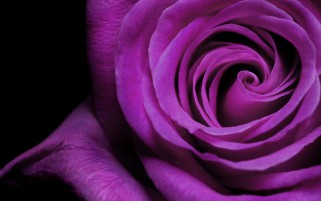 Purple Rose wallpapers and stock photos