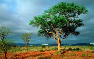 African Tree wallpapers and stock photos