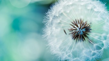 Fluffy Dandelion wallpapers and stock photos